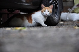 Cat under car (small)