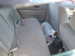 American Bulldog in the backseat of a vehicle on a hot summer day
