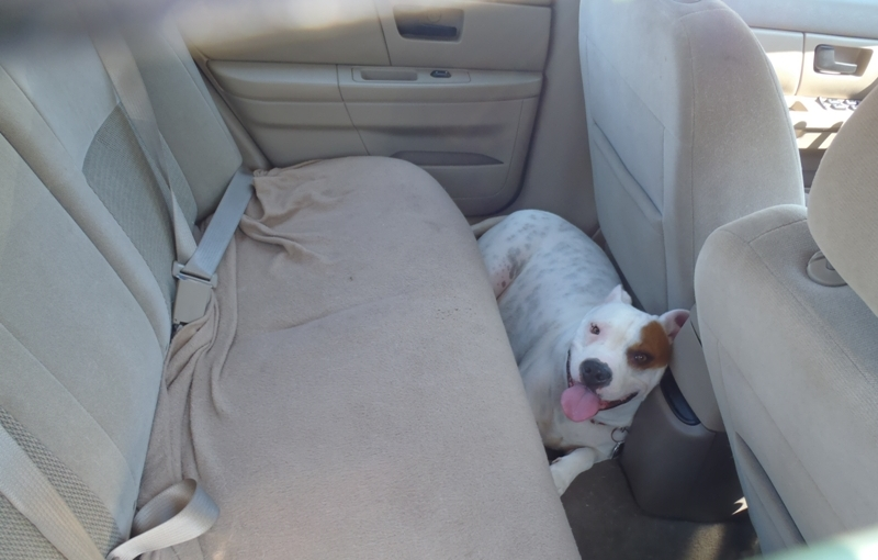 Pets Left in Vehicles Pose DeadlyCombination